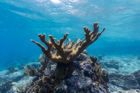 A large elkhorn coral underwater on a sunny day in Curacao