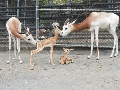 Dama gazelle calves