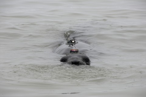 Elephant seal with a GPS tracking device.
