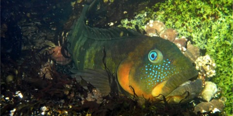A chalapo clinid fish