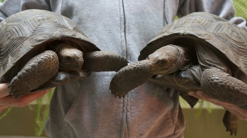 A keeper holds two 11-pound Aldabra tortoises.