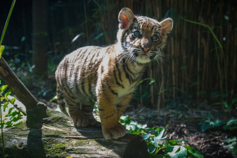 a tiger cub stand on a log