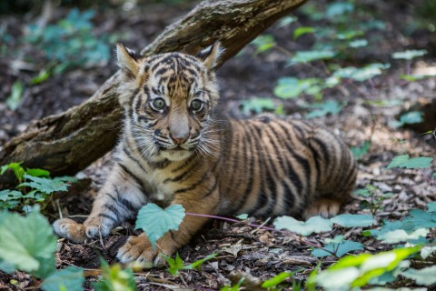 a tiger cub sits in leaves in front of a log