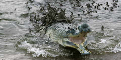 male gharial (Gavialis gangeticus) defends his hatchlings in the Chambal River, Uttar Pradesh
