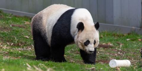Giant panda Mei Xiang at the David M. Rubenstein Family Giant Panda Habitat.