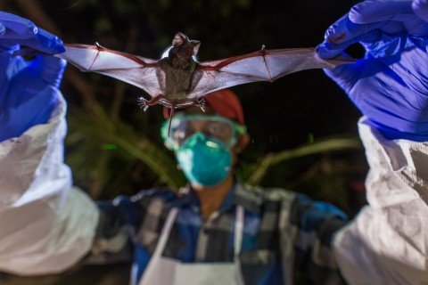 A scientist with Smithsonian's Global Health Program holds a wrinkle-lipped bat in Myanmar.