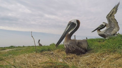 Two brown pelicans. One sits on a nest and the second spreads its wings.