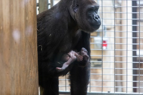 Western lowland gorilla infant Moke is cradled by his mother, Calaya