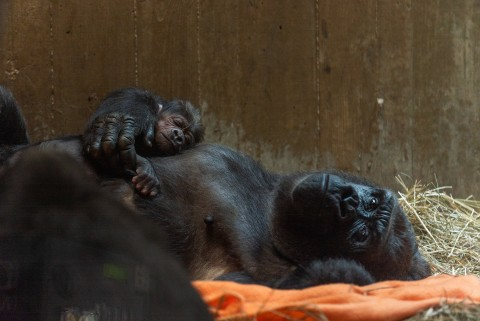 Western lowland gorilla Moke rests on the chest of his mother, Calaya, who is laying on her back on top of an orange blanket and hay