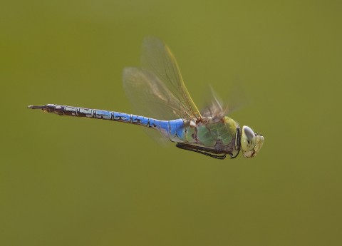 A close-up photo of a green darner dragonfly in flight. It has large eyes, a long tail and a short, round body.