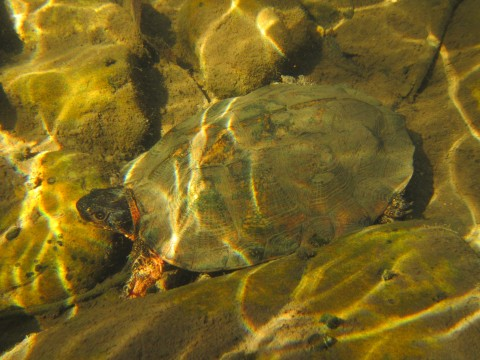 A wood turtle at the bottom of a stream, blending in with the surrounding rocks.