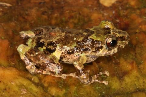 Frog: Pristimantis divnae
