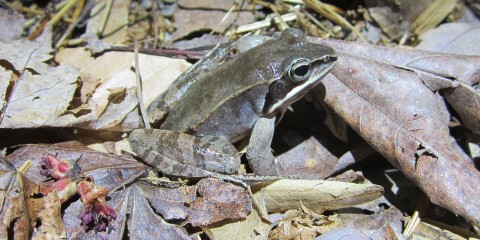 A small, green-brown frog, called a wood frog, with smooth skin, large eyes and stripes along its hind legs sits on the ground in a bed of fallen leaves