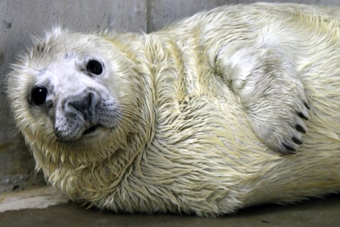 Gray Seal Pup