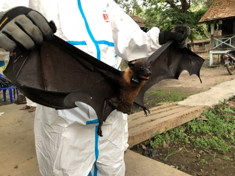 SCBI scientist holds a collared flying fox.
