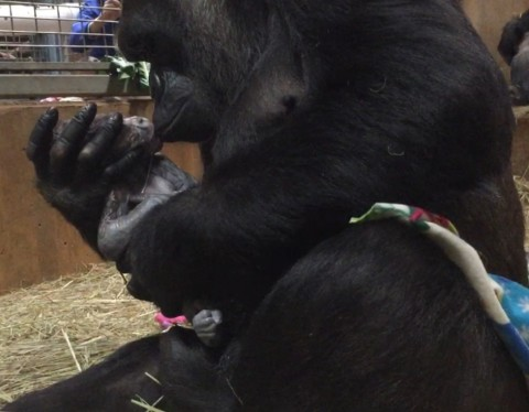 Gorilla mom snuggles her newborn baby at National Zoo