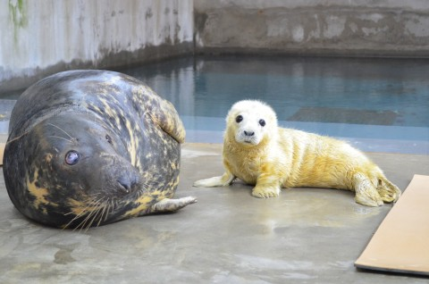 Female gray seal pup next to its mother, Kara