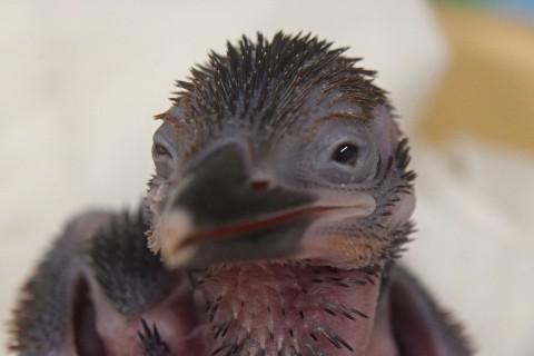 Guam kingfisher chick