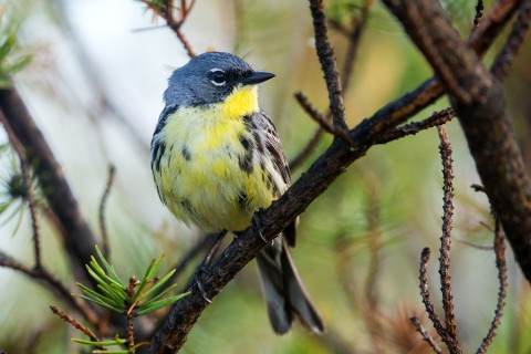 A blue and yellow bird, called a Kirtland's warbler, perched on a pine tree branch