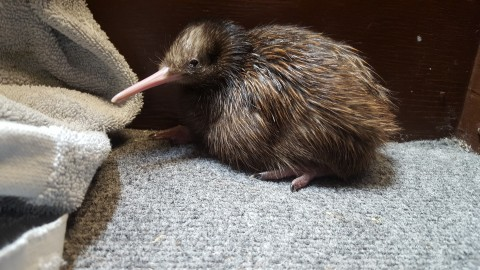 A female brown kiwi chick sitting on a gray carpet