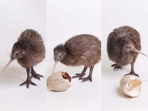Kiwi chicks