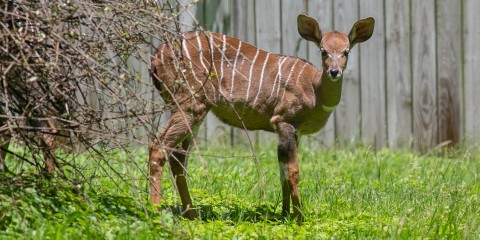 A lesser kudus with a long neck, large ears, and light brown skin with thin white stripes grazes in the grass