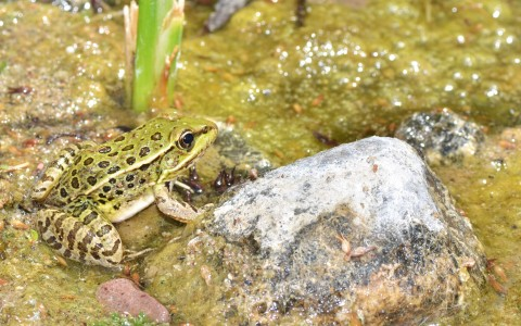 a green frog in water next to a rock