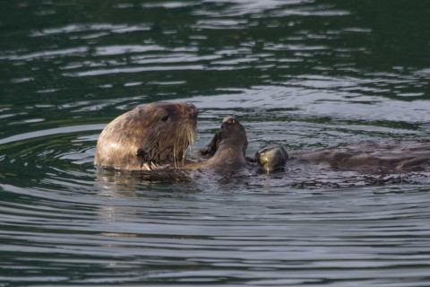 Sea otter floats on its back in the water