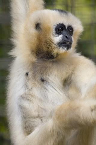 White-cheeked gibbon Muneca