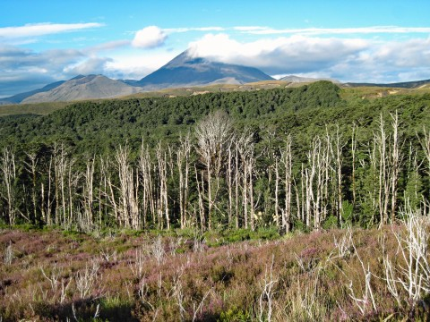 A recently burned forest at the base of a mountain. The forest is burnt in the foreground and gets progressively greener in the background toward the mountain.