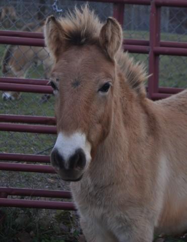Przewalski's horse colt