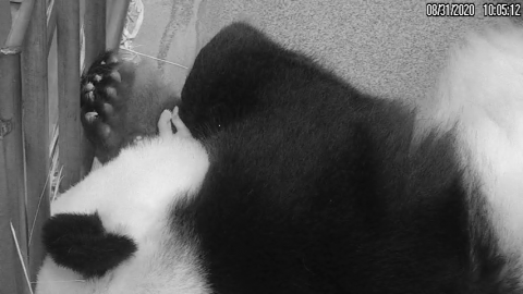 Giant panda Mei Xiang holds her 10-day-old cub in her forearms. The cub's tiny paws are peeking out.