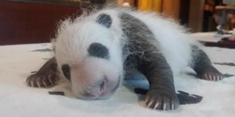 panda cub asleep on table