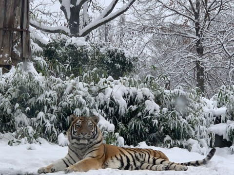 Amur tiger Pavel rests in snow at the Smithsonian's National Zoo