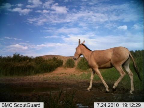Camera Trap of a Przewalski's Horse