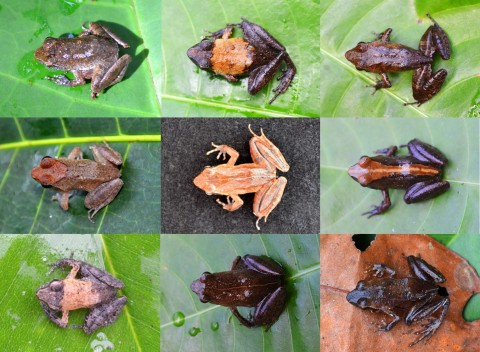 DNA barcoding revealed that these frogs all belong to the same species: the Eare