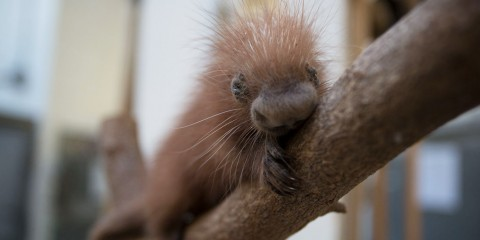 a baby prehensile-tailed porcupine lounges on a tree branch
