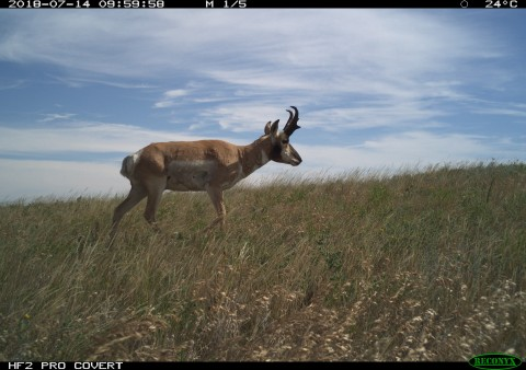 A camera trap photo of a pronghorn antelope walking through Montana grasslands on a clear, bright day.