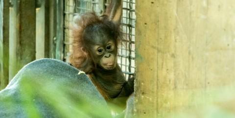 Redd orangutan