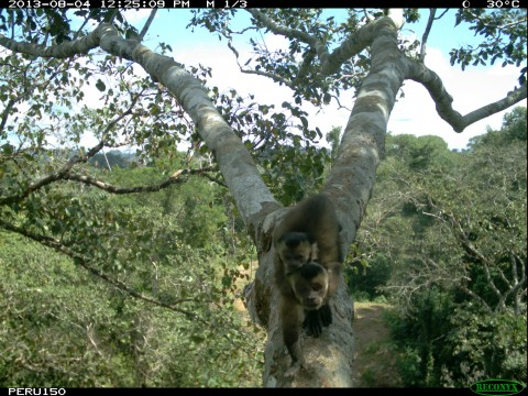 A camera trap photo of two monkeys in a tree