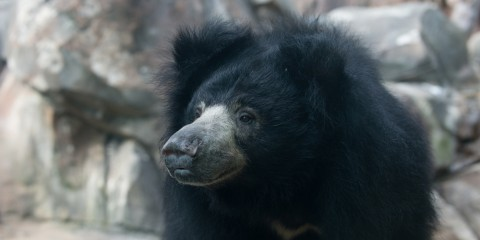 Sloth Bear Hana