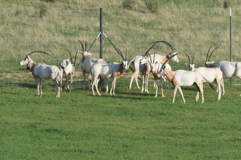 After each scimitar-horned oryx was fitted with a collar, it was released back into the large yard
