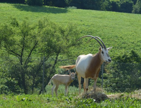 A newborn scimitar-horned oryx calf with tan skin and large ears stands in the grass near its mother.