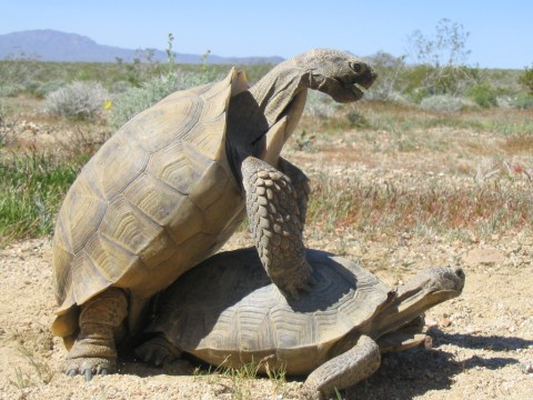 Two desert tortoises mating