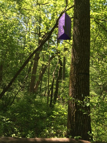 SCBI scientists place purple traps for the emerald ash bower in the trees.