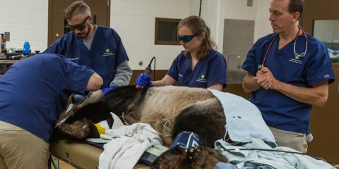 Tian Tian during a full veterinary exam.