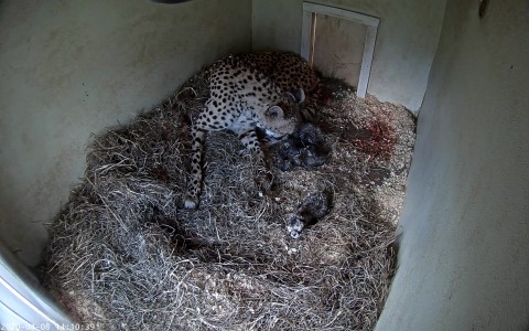 A female cheetah cub lays on a bed of hay in a den where she has just given birth to three cubs. The three small, newborn cheetah cubs can be seen around her in the hay.
