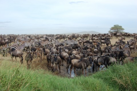 A herd of wildebeests and zebras gather at a watering hole.