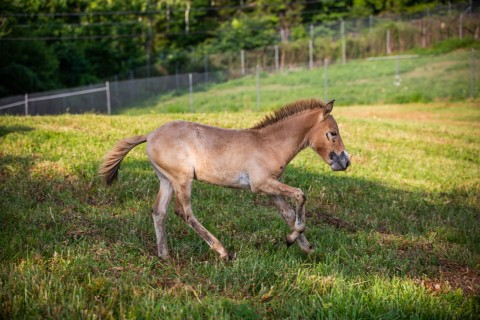 A Przewalski's horse colt at the Smithsonian Conservation Biology Institute.