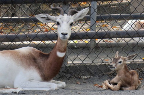 Dama gazelle mom and calf